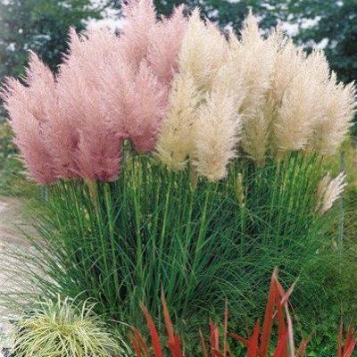 Декоративна Блатна трева