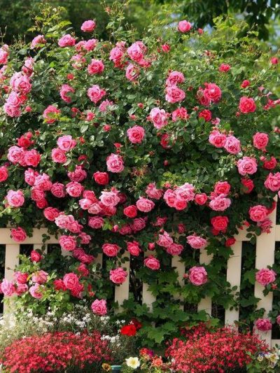Рози и Жасмин