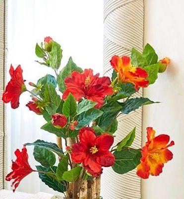 Хибискус -китайска роза